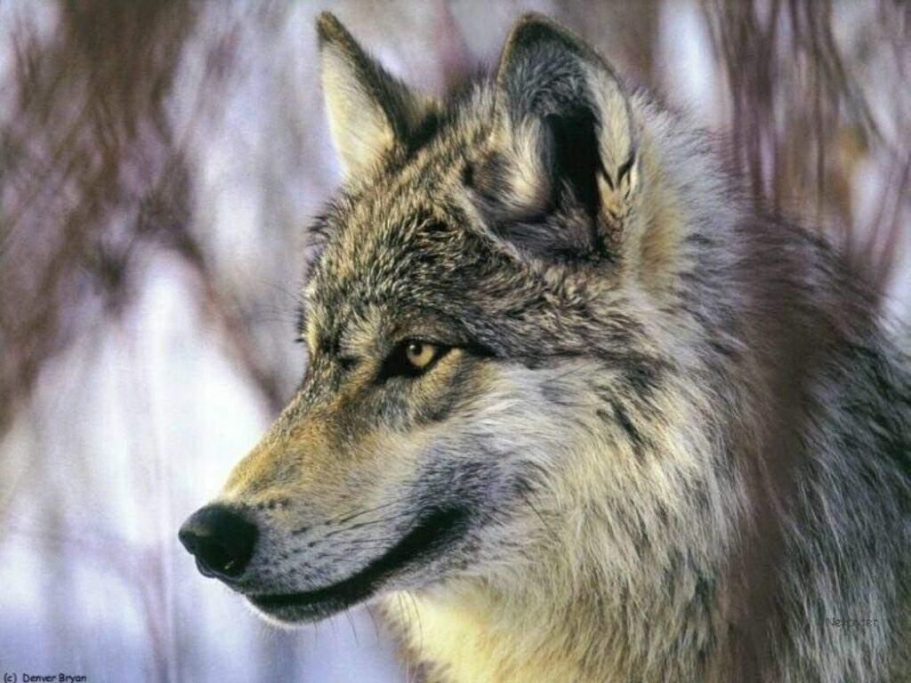 Le loup Loup_039